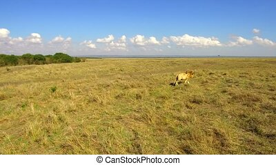young lion hunting in savanna at africa