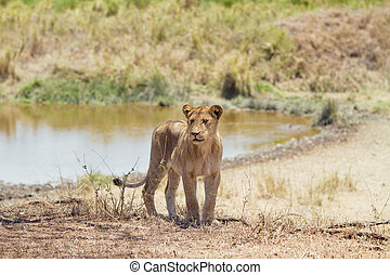 Young lion in Serengeti Africa