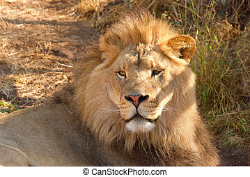 young lion laying in brown grass and dirt on a hot sunny summer
