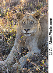 Young lion lying in the grass 2