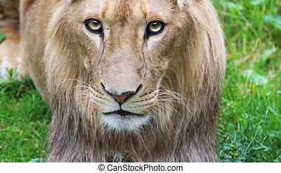 Young lion male