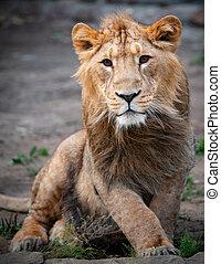 Young lion male portrait