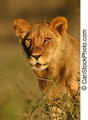 Young lion - Portrait of a young lion, Kalahari, South...