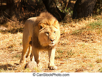 young lion standing in brown grass and dirt on a hot sunny summer