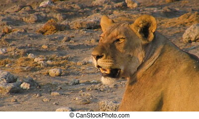 Young lioness light having a rest at sunset time