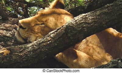 young lions Lake Manyara National Park - young lioness and...