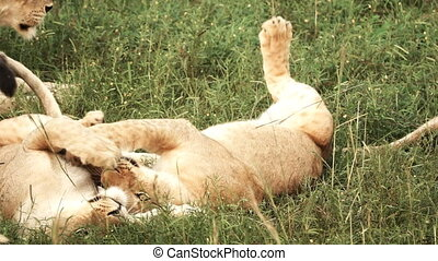 Young lions playing in super slow motion