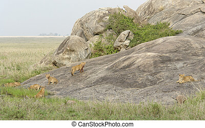 young Lions playing on a rock formation