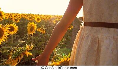 Young little girl hands walking along sunflowers field. Sun...
