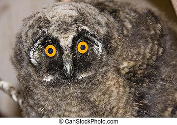 Young long-eared owl (Asio otus)