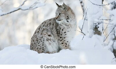 Young lynx cub in the cold winter forest - Close-up of a ...