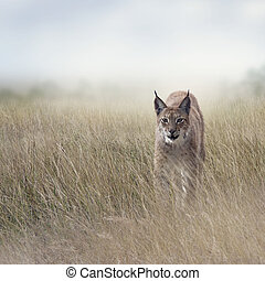 Young Lynx In the Grassland - Young Lynx walking In the ...