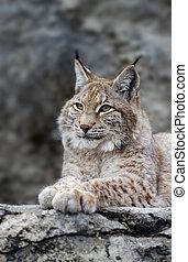 Young lynx portrait