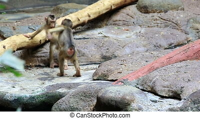 Young macaque fun in the zoo.