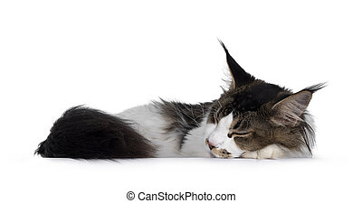 Young Maine Coon cat sleeping on white background