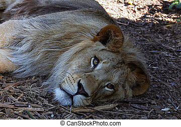 Young male African lion laying on the ground