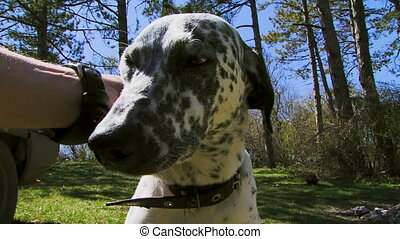 Young male dalmatian - Beautiful purebred Dalmatians walks...