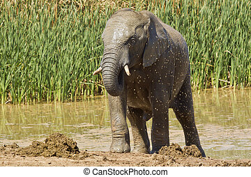 Young male elephant cooling off - Male Elephant cooling off...