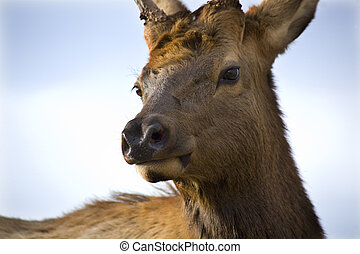 Young Male Elk with Horns Very Close Up National Bison Range Charlo Montana