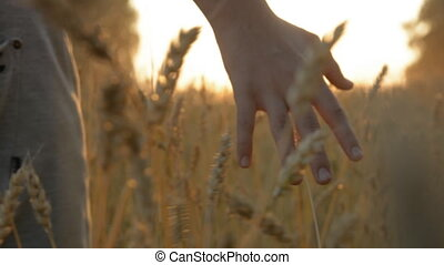 Young male hand touching wheat in autumn field.