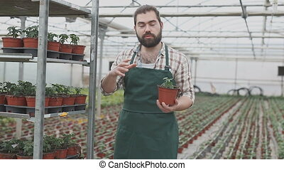 Young male horticulturist planting tomatoes seedling in pots in greenhouse