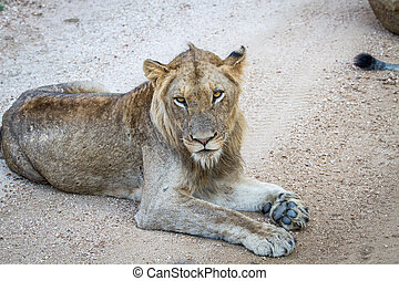 Young male Lion laying on a dirt road.