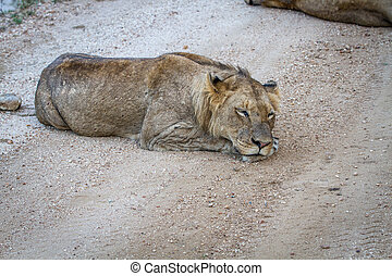 Young male Lion sleeping on a dirt road.