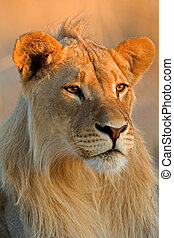 Young male lion - Portrait of a young male African lion...