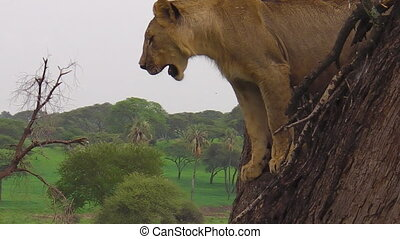 young male lion looking from a tree of the Tarangire National Park, Tanzania, Africa. Panthera Leo species.