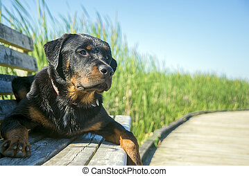 Young male rottweiler sitting outdoors with attentive...