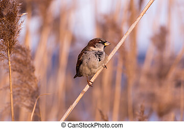 Young male sparrow (Passer domesticus) in reed
