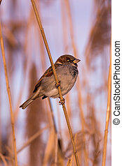 Young male sparrow (Passer domesticus)