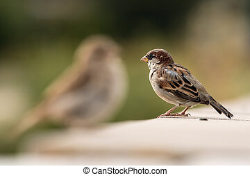 Young male sparrow (Passer domesticus