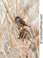 Young male sparrow