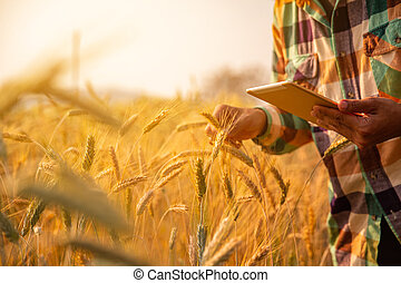 Young man agriculture engineer squatting in gold wheat field with tablet in hands in early summer