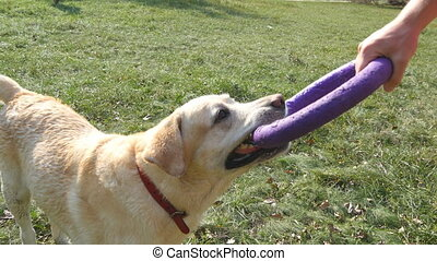 Young man and dog playing with toy for animal outdoor at nature. Labrador or golden retriever bites and pulls toy from hands of his male owner. Close up