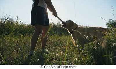 Young man playing with labrador or golden retriever in...