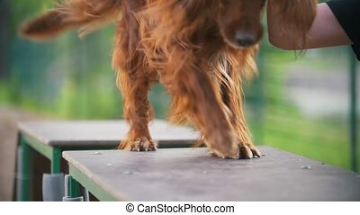 Young man trains his dog irish setter on the overpass...