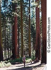 Young man traveler walking through big redwood trees