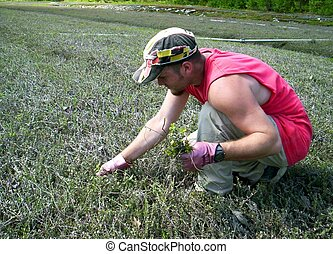young man working weeding cranberry bog Indian garden farm...