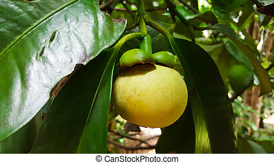 young mangosteen on tree, thailand
