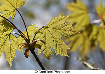 Young Maple leaves in the rays of sunlight