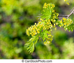 young maple leaves in the spring