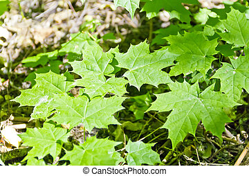 Young maple shoots in summer forest