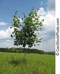 Young maple tree in the grass