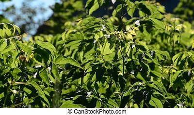 Young maplebox elder on a sunny day