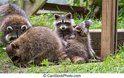Young members of raccoon (Procyon lotor) family playing, establishing pecking order, grooming one another & playing, search for food & treats near bird feeder in Eastern Ontario. Member of Carnivora order of mammals. Their family is Procyonidae,