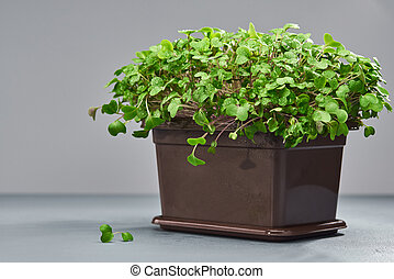 Young micro green in a plastic box