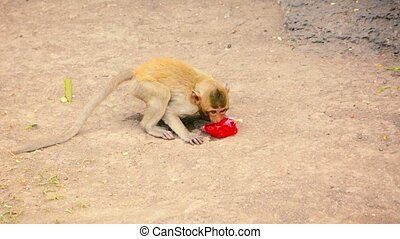 Video 1080p - Juvenile Crab Eating Macaque, industriously bites a hole in a plastic bag to sip the juice drink sealed inside, at Phra Prang Sam Yod, Thailand.