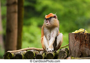 Young monkey Cercopithecini is siting with blur background. Photo from live animal in zoo, zoopark.